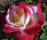 rose-11