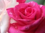 rose-14