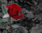 rose-8