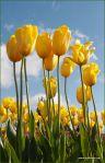 tulips-20