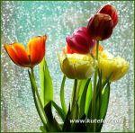 tulips-22