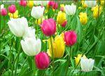 tulips-24