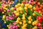 tulips-26