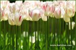 tulips-35