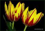 tulips-36