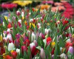 tulips-37