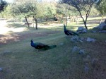Peacocks in Damn-e-koh Islamabad