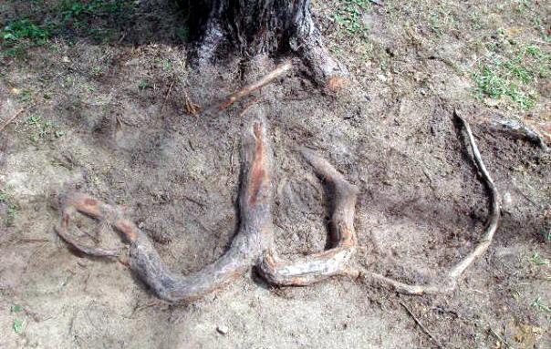 Allah's name in root